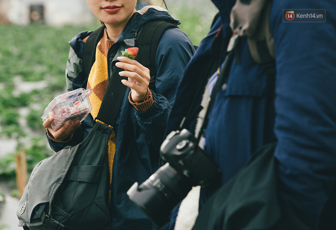 Không cần mất công đi Mộc Châu, một vườn dâu tây đã có ngay ở Hà Nội phục vụ Tết nguyên đán - Ảnh 4.