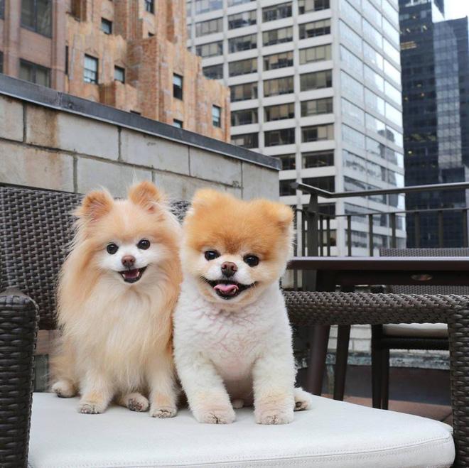 """Boo - """"Chú chó đáng yêu nhất thế giới"""" với hÆ¡n 16 triệu người theo dõi đã qua đời - Ảnh 5."""