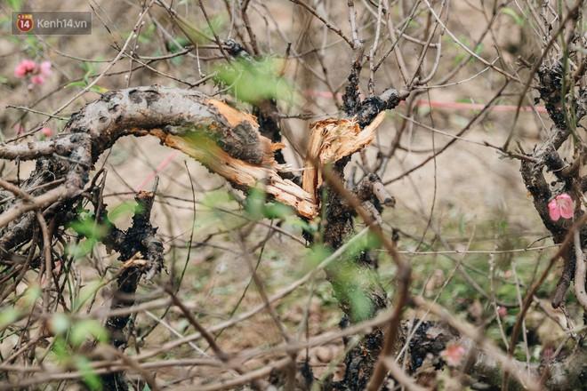 """Gần 200 gốc đào của người dân Bắc Ninh bị chặt phá trong đêm: """"Tết năm nay còn chả có bánh chưng mà ăn"""" - Ảnh 6."""