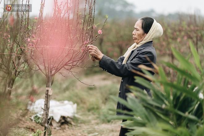 """Gần 200 gốc đào của người dân Bắc Ninh bị chặt phá trong đêm: """"Tết năm nay còn chả có bánh chưng mà ăn"""" - Ảnh 15."""
