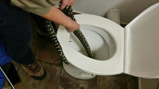 Bị cắn khi đi toilet, bà cô người Úc ra tay thu phục con trăn dài 1,5m - Ảnh 1.