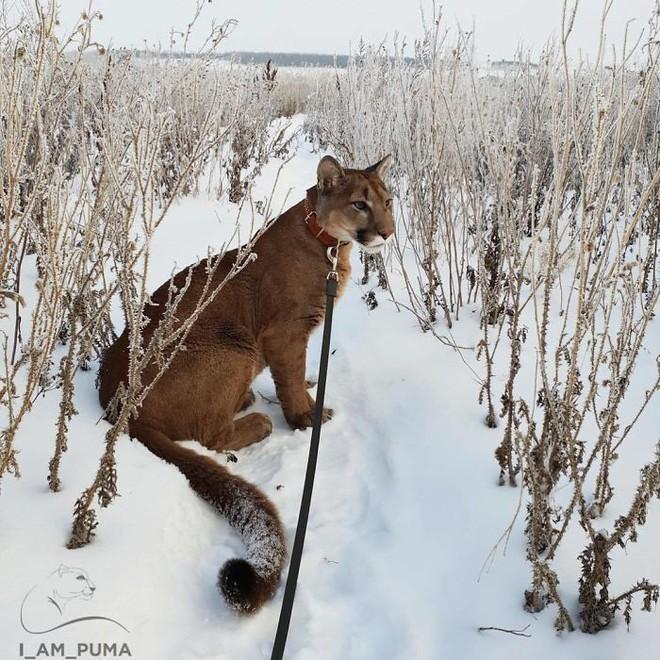 Chú báo sư tử được đôi vợ chồng Nga rước về nuôi rồi trở thành 'hot pet' đình đám trên MXH - Ảnh 5.