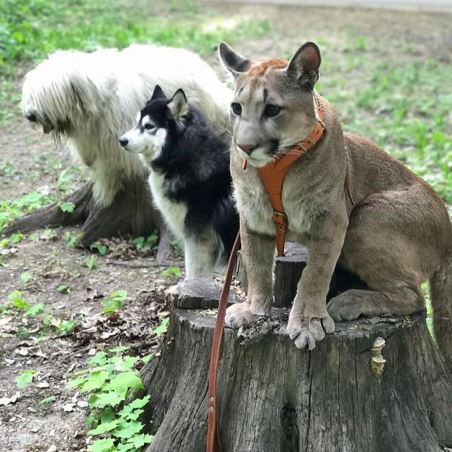 Chú báo sư tử được đôi vợ chồng Nga rước về nuôi rồi trở thành 'hot pet' đình đám trên MXH - Ảnh 4.