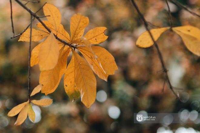 Hà Nội những ngày mùa xuân lá đỏ lá vàng: Đẹp mãi thế này thì khỏi cần đi Hàn hay Nhật luôn nhỉ? - Ảnh 4.