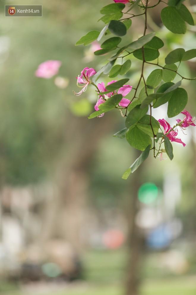 """Không cần lên Tây Bắc, hoa ban vẫn bừng nở giữa đất trời Hà Nội cho người dân thỏa sức """"check-in"""" - Ảnh 11."""
