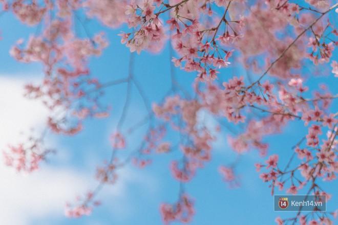 Mai anh đào nở muộn đang nhuộm hồng Đà Lạt - lại có cớ để lên đây ểnh ương ngắm hoa rồi! - Ảnh 2.