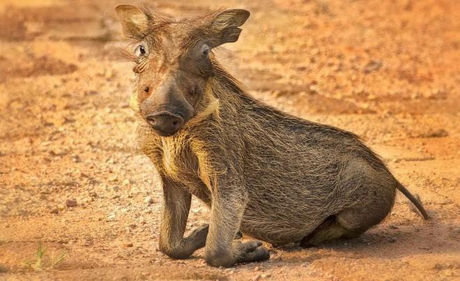 Nhân năm Kỷ Hợi tìm hiểu loài lợn cực thú vị: mang ngà như voi, lại có đến 4 cái - Ảnh 1.
