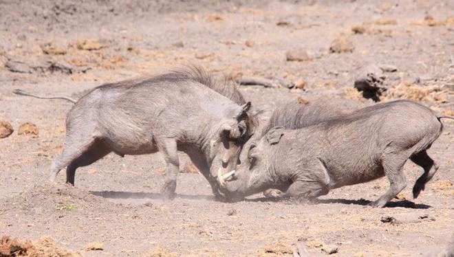 Nhân năm Kỷ Hợi tìm hiểu loài lợn cực thú vị: mang ngà như voi, lại có đến 4 cái - Ảnh 5.