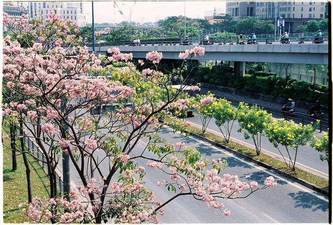 Dân tình ngỡ ngàng với loạt ảnh chụp hoa kèn hồng bung nở sớm tại Sài Gòn - Ảnh 3.