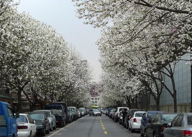 Không phải hoa anh đào, mộc lan mới chính là loài hoa đang vào độ bung nở đẹp nhất tại Seoul - Ảnh 10.