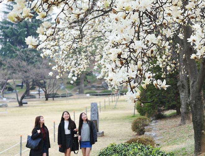 Không phải hoa anh đào, mộc lan mới chính là loài hoa đang vào độ bung nở đẹp nhất tại Seoul - Ảnh 13.