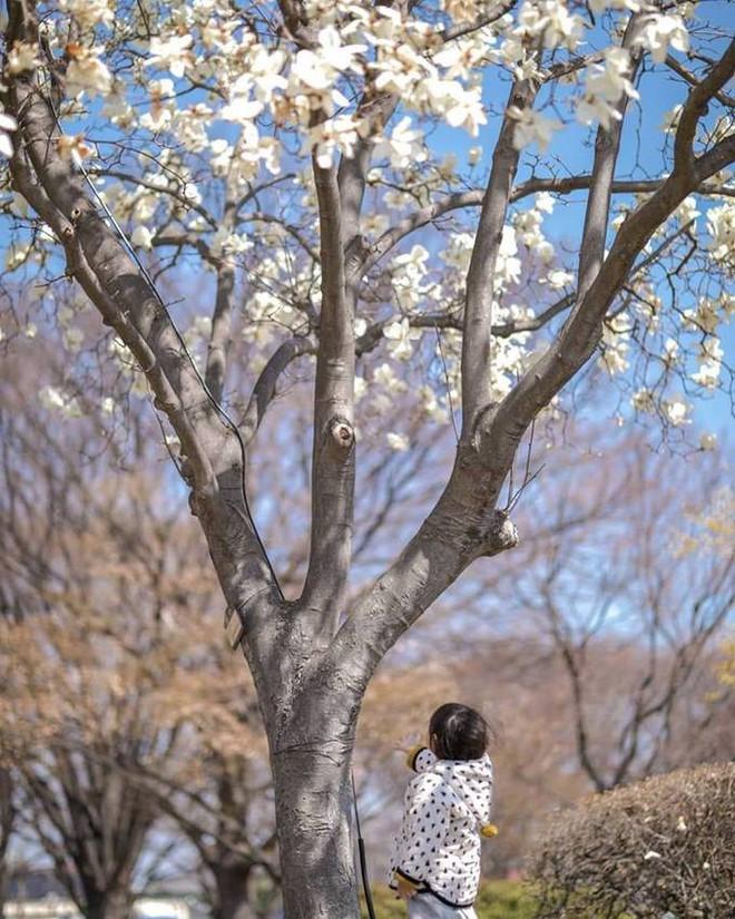 Không phải hoa anh đào, mộc lan mới chính là loài hoa đang vào độ bung nở đẹp nhất tại Seoul - Ảnh 14.