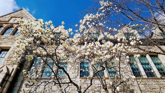 Không phải hoa anh đào, mộc lan mới chính là loài hoa đang vào độ bung nở đẹp nhất tại Seoul - Ảnh 16.
