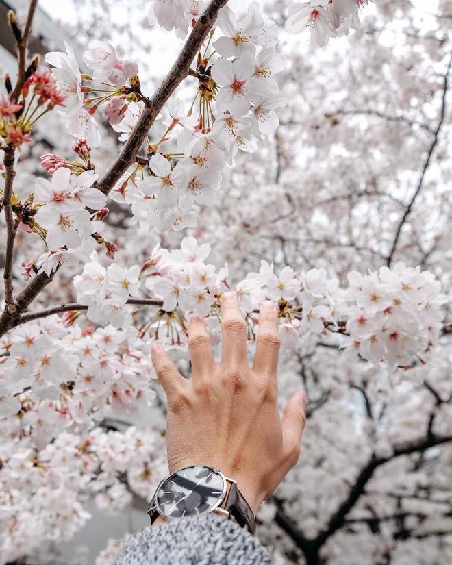 Không Nhật Bản thì Hàn Quốc, cảm giác như cả thế giới đều đi ngắm hoa anh đào hết rồi! - Ảnh 22.