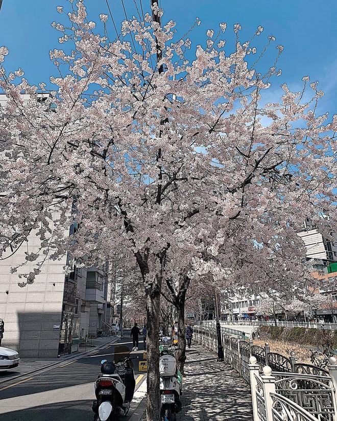 Không Nhật Bản thì Hàn Quốc, cảm giác như cả thế giới đều đi ngắm hoa anh đào hết rồi! - Ảnh 27.