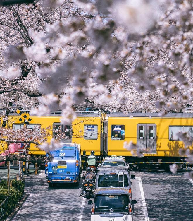 Không Nhật Bản thì Hàn Quốc, cảm giác như cả thế giới đều đi ngắm hoa anh đào hết rồi! - Ảnh 20.