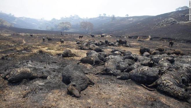 Gần NỬA TỈ sinh vật bị thiêu rụi, 1/3 số gấu koala chết cháy: Úc đang trải qua trận cháy rừng đại thảm họa thực sự mà chưa nhìn thấy lối thoát - Ảnh 11.