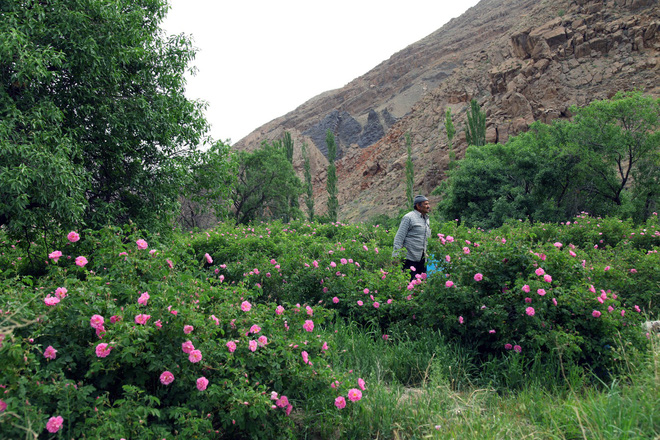Câu chuyện về những bông hồng thơm nhất thế giới của Iran: Cả một thị trấn toàn hoa hồng, người dân làm một tháng là đủ tiền tiêu cả năm không hết - Ảnh 1.