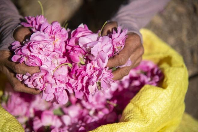 Câu chuyện về những bông hồng thơm nhất thế giới của Iran: Cả một thị trấn toàn hoa hồng, người dân làm một tháng là đủ tiền tiêu cả năm không hết - Ảnh 4.