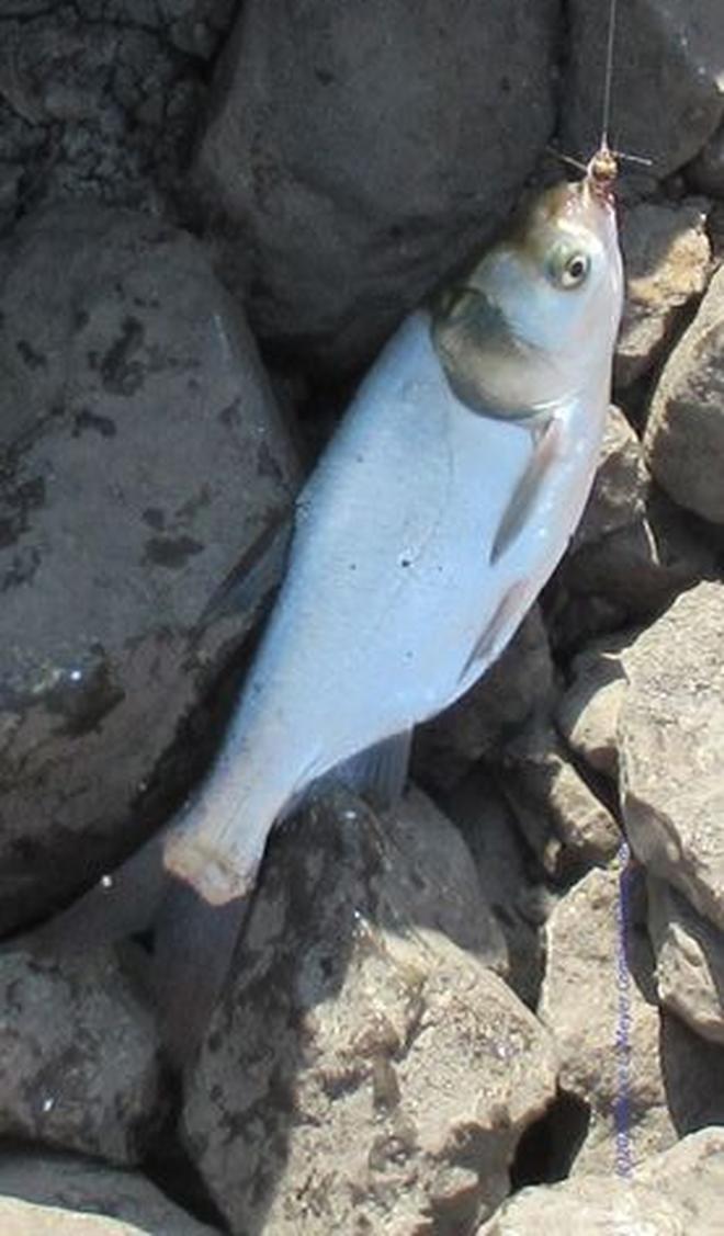 5 loại cá vốn đã bổ dưỡng, giá lại rẻ bèo nay còn ăn đúng vào mùa thu thì tốt gấp bội cho sức khỏe - Ảnh 1.
