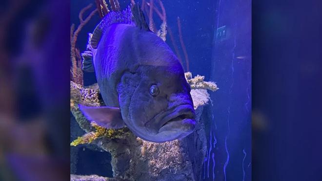 Chú cá mú bị trầm cảm vì cô đơn sau khi ăn thịt hết anh em cùng bể - Ảnh 1.
