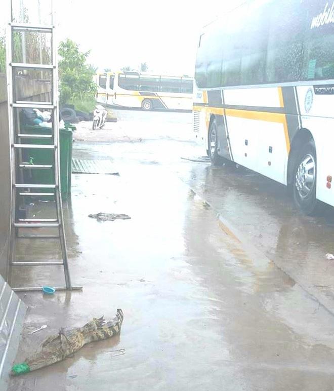 Cá sấu lại sổng chuồng, bò vào bãi xe khách ở miền Tây - ảnh 1
