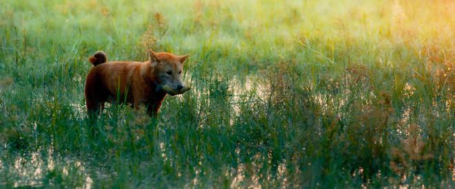 Cậu Vàng tung first look giới thiệu sinh vật lạ: Vẫn là chó Nhật nhưng lông đỏ, hàng siêu hiếm? - ảnh 3