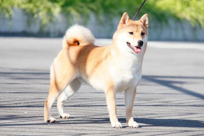Cậu Vàng tung first look giới thiệu sinh vật lạ: Vẫn là chó Nhật nhưng lông đỏ, hàng siêu hiếm? - ảnh 5