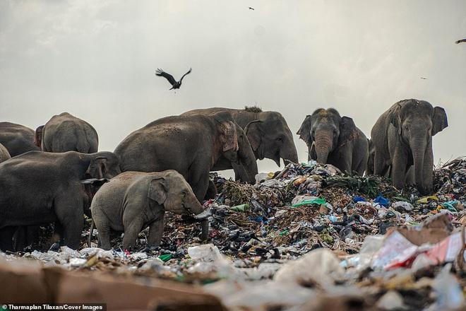 Cảnh tượng nhói lòng: Đàn voi xác xơ quanh quẩn kiếm ăn bên một bãi rác khổng lồ, ăn phải rác nhựa và toàn những thứ không thể tiêu hóa - Ảnh 9.