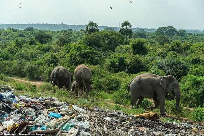Cảnh tượng nhói lòng: Đàn voi xác xơ quanh quẩn kiếm ăn bên một bãi rác khổng lồ, ăn phải rác nhựa và toàn những thứ không thể tiêu hóa - Ảnh 8.