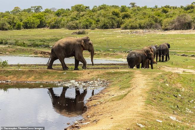 Cảnh tượng nhói lòng: Đàn voi xác xơ quanh quẩn kiếm ăn bên một bãi rác khổng lồ, ăn phải rác nhựa và toàn những thứ không thể tiêu hóa - Ảnh 7.
