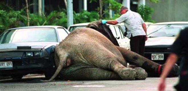 Đôi mắt đỏ rực, tứa máu của một con voi thức tỉnh cả nhân loại: 20 năm chịu cảnh tù đày thống khổ và 87 phát đạn rung chuyển cả thế giới - ảnh 10