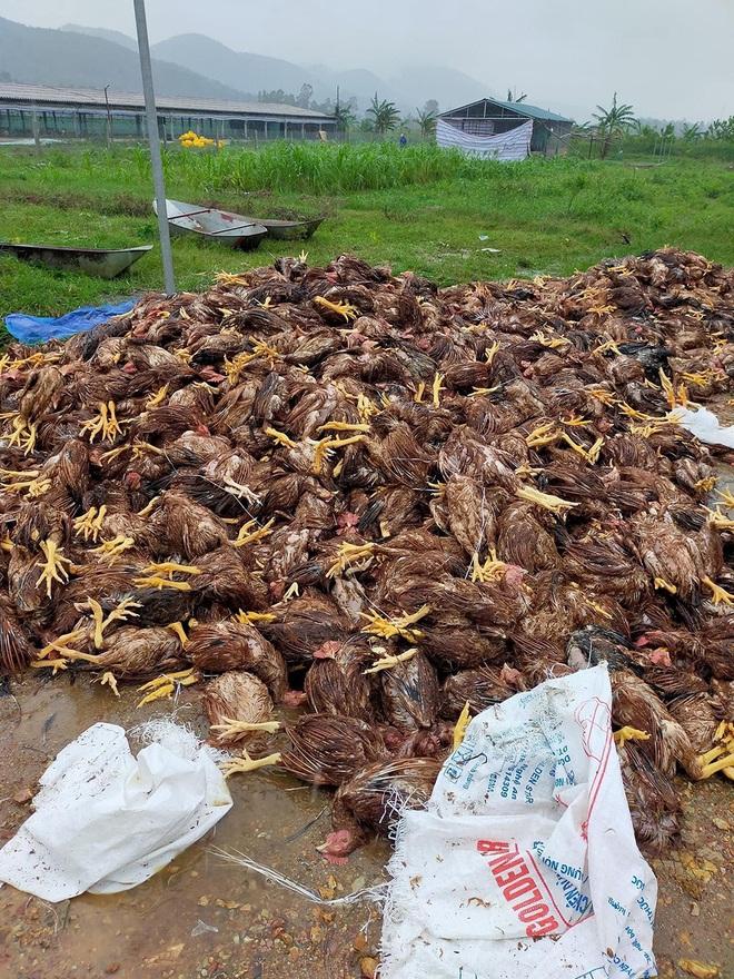 10.000 con gà chết chất thành đống sau lũ, chủ trang trại đau lòng: Mất hết rồi, tôi không dám nhìn vào 2 chuồng gà nhà mình nữa - ảnh 1