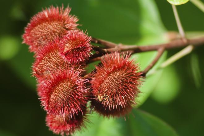 Quê hương H'Hen Niê có một loại quả siêu lạ khiến hoa hậu Khánh Vân lầm tưởng là chôm chôm, tìm ra nguồn gốc của nó mới bất ngờ - Ảnh 5.