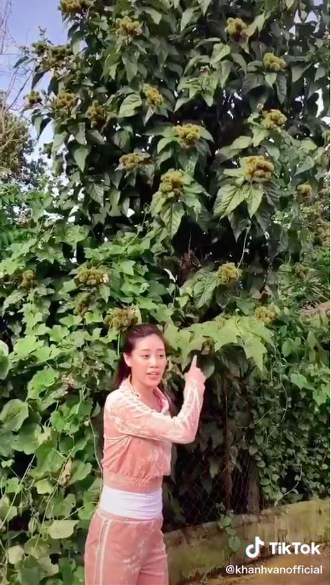 Quê hương H'Hen Niê có một loại quả siêu lạ khiến hoa hậu Khánh Vân lầm tưởng là chôm chôm, tìm ra nguồn gốc của nó mới bất ngờ - Ảnh 2.
