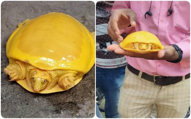 Bí mật gì đằng sau 2 chú rùa có màu vàng đến vô lý đang gây bão mạng xã hội những ngày qua? - Ảnh 2.