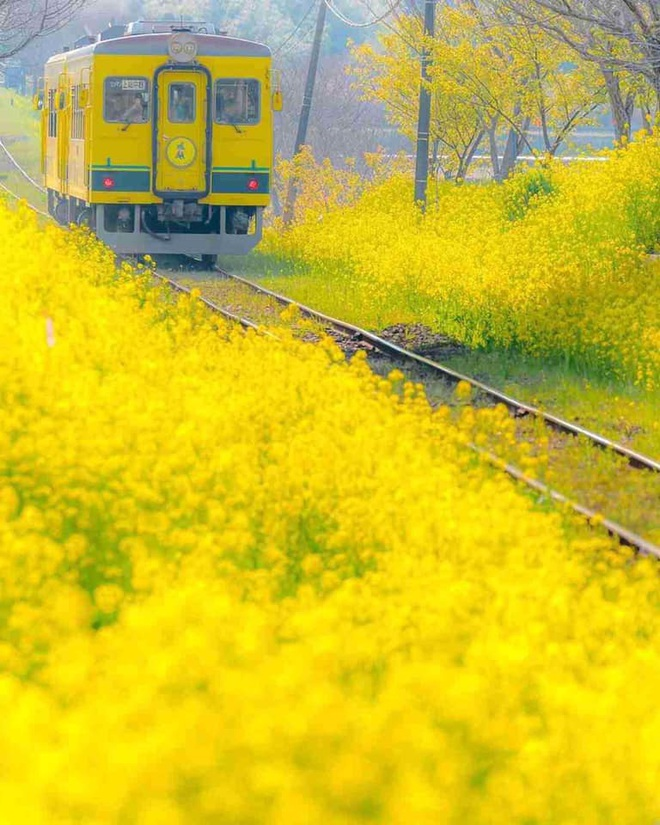 Dân mạng sửng sốt trước cánh đồng hoa cải vàng đẹp như tranh vẽ có thật tại Đà Lạt, xem ảnh mà ngỡ đâu nước Nhật xa xôi - Ảnh 8.
