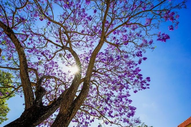 Đà Lạt mộng mơ mùa hoa phượng tím nở rộ, chị em không đi thì sẽ hối tiếc vô cùng - Ảnh 2.