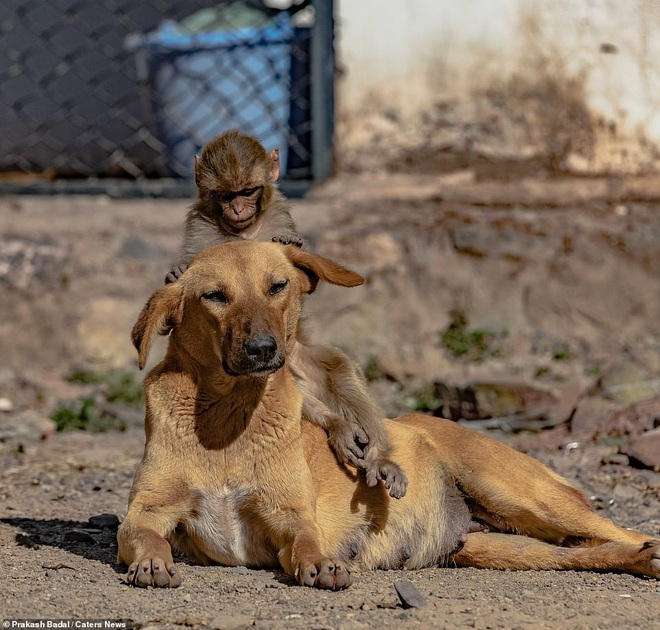 Mẹ qua đời vì bị đầu độc, khỉ con được chó nhận nuôi và tình mẫu tử khác loài khiến MXH cảm động - Ảnh 2.