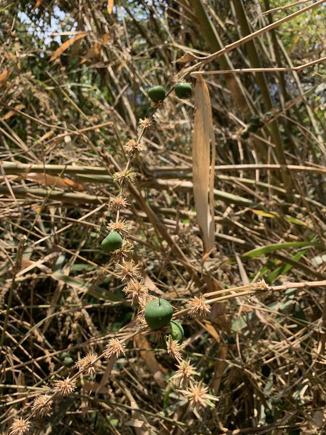Sự thật về quả tre khiến cư dân mạng phát sốt: cũng là quả của một loại cây họ tre, ăn nhân có vị ngọt nhẹ - Ảnh 1.