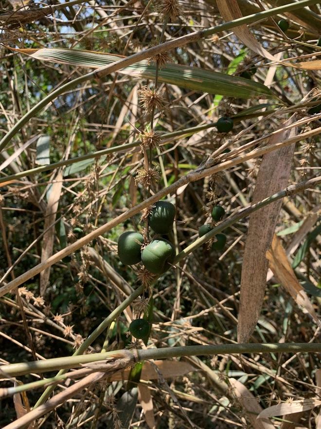 Sự thật về quả tre khiến cư dân mạng phát sốt: cũng là quả của một loại cây họ tre, ăn nhân có vị ngọt nhẹ - Ảnh 4.
