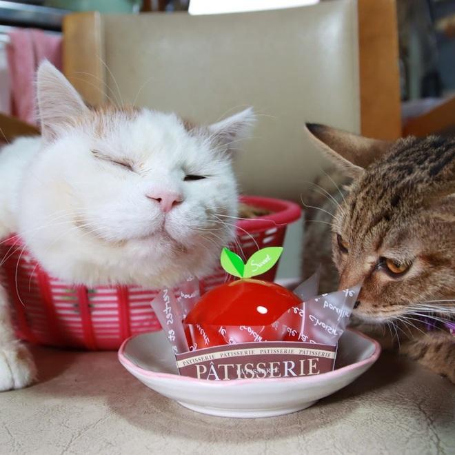 """Chú mèo Shironeko huyền thoại đã qua đời, gia đình chọn đúng ngày """"sinh nhật"""" 18 tuổi để công bố tin buồn - Ảnh 4."""