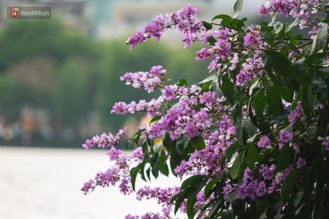 Ảnh, clip: Hoa bằng lăng nhuộm tím phố phường Hà Nội tháng 5 - Ảnh 4.