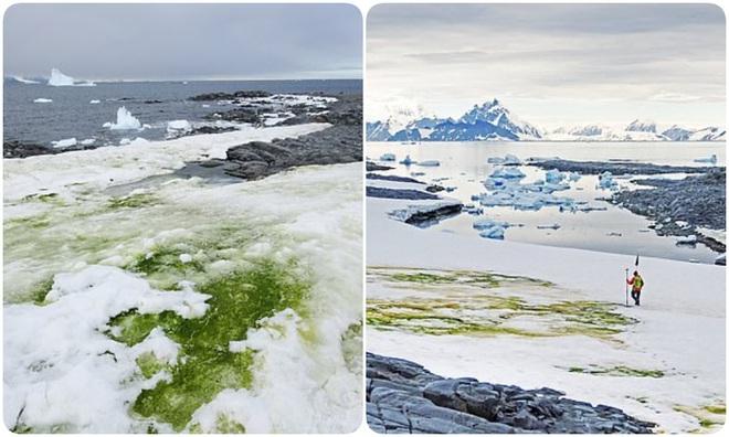 Nam Cực tuyết trắng bỗng nhiên bị phủ xanh, nhưng lý do lần này không hẳn đã thuộc về con người - ảnh 2