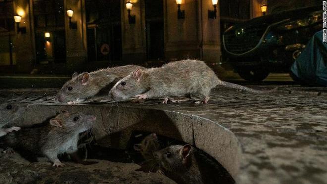 Mỹ: CDC cảnh báo chuột bất thường, hung dữ do thiếu ăn trong dịch Covid-19 - ảnh 1