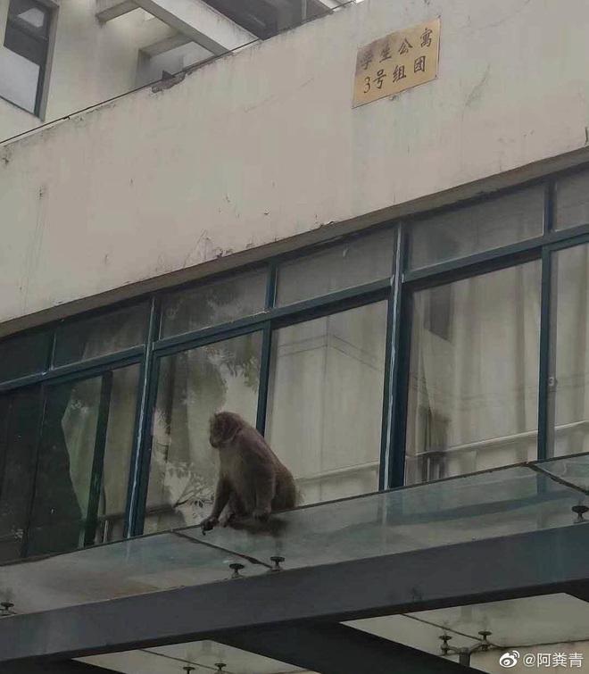 Khỉ bất ngờ xuất hiện trong ký túc xá sau kì nghỉ dịch, nhà trường cảnh báo: Tránh để khỉ tấn công, các em đánh không lại đâu - ảnh 2