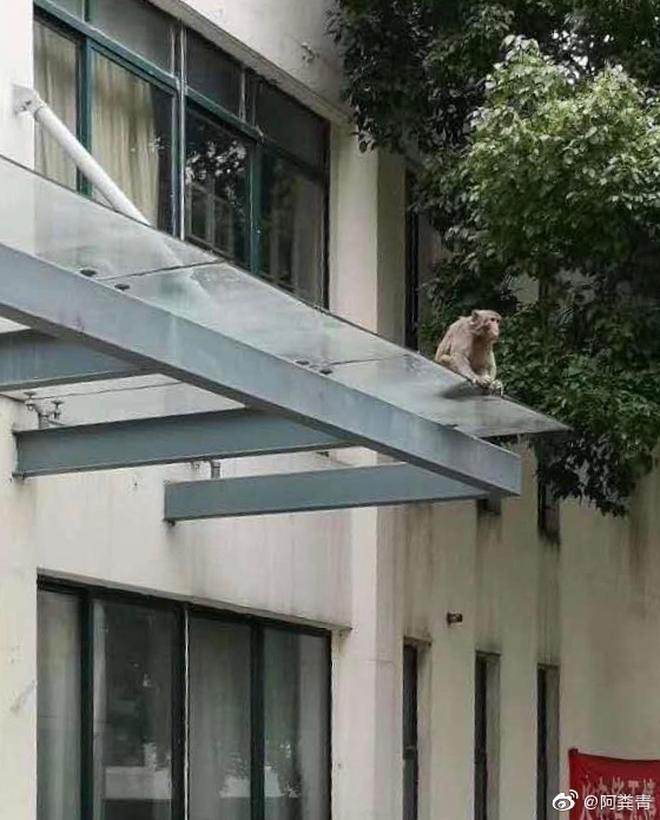 Khỉ bất ngờ xuất hiện trong ký túc xá sau kì nghỉ dịch, nhà trường cảnh báo: Tránh để khỉ tấn công, các em đánh không lại đâu - ảnh 4