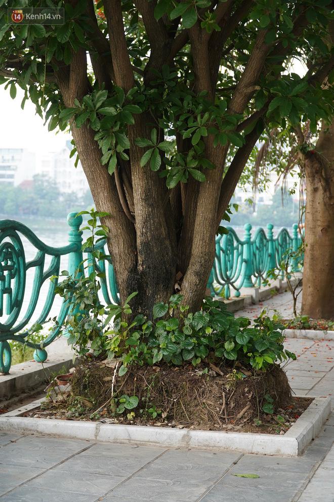 Ảnh: Cận cảnh hàng loạt cây xanh mục gốc, ngả hướng ra giữa đường ở Hà Nội - ảnh 10