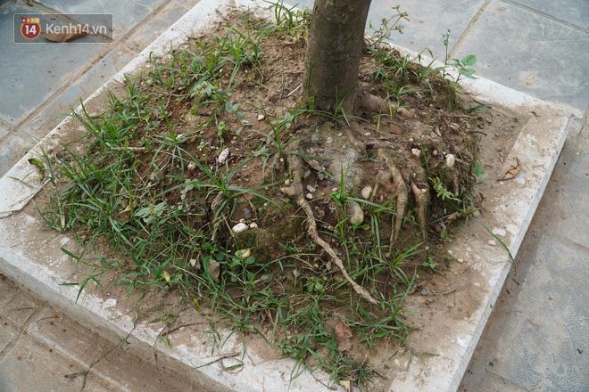 Ảnh: Cận cảnh hàng loạt cây xanh mục gốc, ngả hướng ra giữa đường ở Hà Nội - ảnh 12