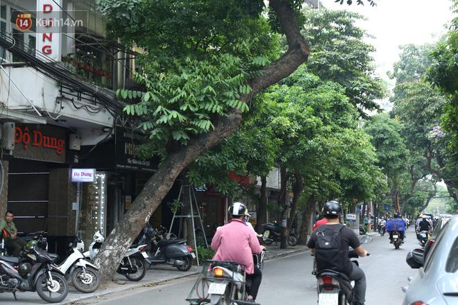 Ảnh: Cận cảnh hàng loạt cây xanh mục gốc, ngả hướng ra giữa đường ở Hà Nội - ảnh 6